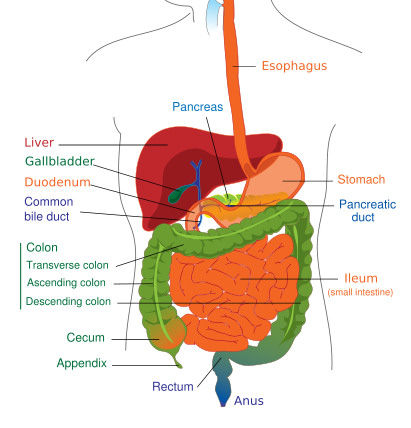 gist support international what is gist  : intestinal tract diagram - findchart.co